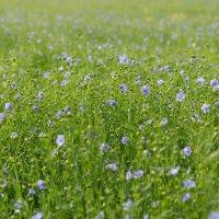 Лен в цвету :: Светлана