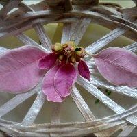 Опавшие листочки пуансетии :: Нина Корешкова