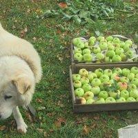 Не нужны мне эти яблоки... :: Михаил Попов