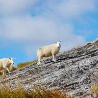 Горные овцы :: Asinka Photography