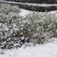 Японская айва под октябрьским снегом :: Владимир Прокофьев