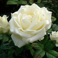Осенняя роза :: svetlanavoskresenskaia