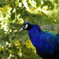 Синяя птица счастья :: Вадим Кулаев