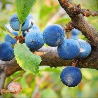 Синие плоды :: Александр Бурилов