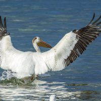 Пеликаны на Колд Лэйке :: Сергей Бушуев