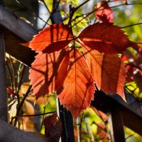листья декоративного винограда :: Виталий