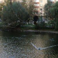 Утиные соревнования в октябре на Наташинских прудах. :: Ольга Кривых