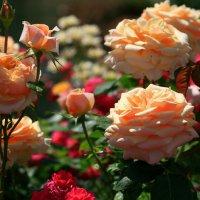 цветочные истории-розы :: Олег Лукьянов