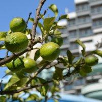 Лимоны. :: DeN Sosnin