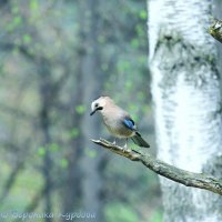 Маленькая птичка в большом лесу. :: Вероника Курдова