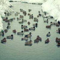Красноярские купальщики... Январь. :: Ксения Старикова