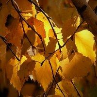 Осенние листья. Берёза :: Виктор Четошников