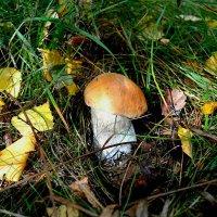 Последние  грибы сезона 2015 :: Милешкин Владимир Алексеевич