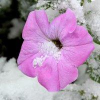 цветы скрылись под первым снегом :: Tatyana Zholobova