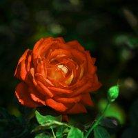 Моя роза. :: ОЛЕГ ПАНКОВ