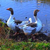 Два весёлых гуся... те, что жили у бабуси :: IGROM (Игорь)