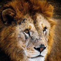 Lion :: Андрей Лободин