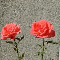 Розы. :: Olga Grushko