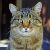 Кот бродяга-хулиган, с шрамами на ухе. :: Валентина ツ ღ✿ღ