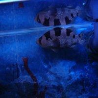 Рыбы в аквариуме :: Елена Перминова