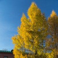 Золото в иголках :: Светлана