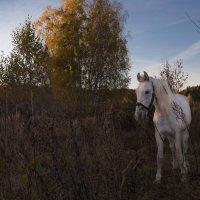 Белый конь :: Светлана