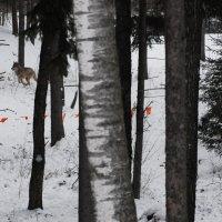 Охота на волков, 1 :: Kostas Slivskis