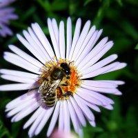 пчелка на работе :: Tiana Ros