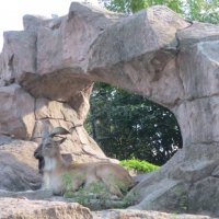 Винторогий козел мархур :: Дмитрий Никитин