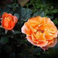Розы в октябре :: Светлана Лысенко