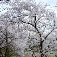 Цветение сакуры в древней столице Кореи - Кёнджу :: Tatiana Belyatskaya