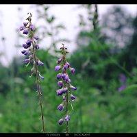цветы :: Юлия Дягилева