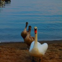 Семейство лебедей :: Александр Богданов