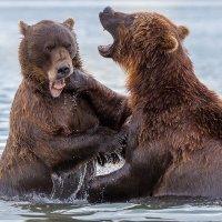 Медвежьи игры :: Денис Будьков