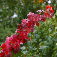 Осенний багрянец :: БОРИС ЯКИНЦЕВ