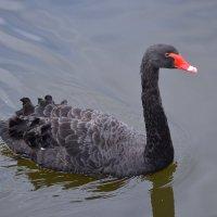 Чёрный лебедь :: Наталья Левина