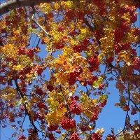 Рябиновые гроздья качались на ветру... :: Нина Корешкова
