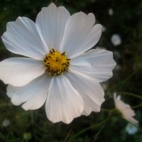 Летний цветок :: Елена Семигина