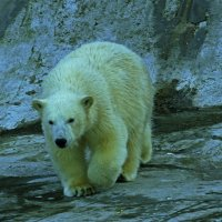 Белый медвежонок :: Александр Запыленов
