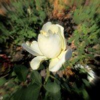Белая роза октября :: Нина Бутко