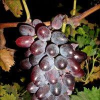 Кисть винограда :: Татьяна Пальчикова