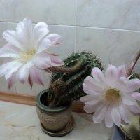 Кактусы в цвету :: Ириша ****
