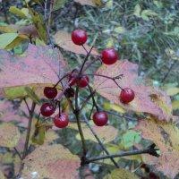Лесные ягоды :: Ириша ****