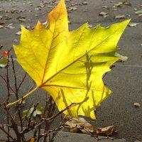 Падает осенний лист... :: Galina Dzubina