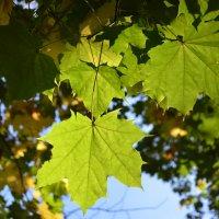 Осенние листья клена :: Галина Galyazlatotsvet