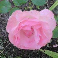 Розовая роза :: Дмитрий Никитин