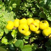 Яблочки айвы японской. :: Валерия Комова