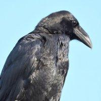 Портрет чёрного ворона . :: Hаталья Беклова