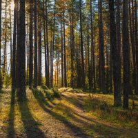 Кулойский лес :: Лариса Сафонова