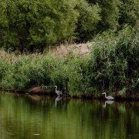 Цапли на озере :: Алексей Головин